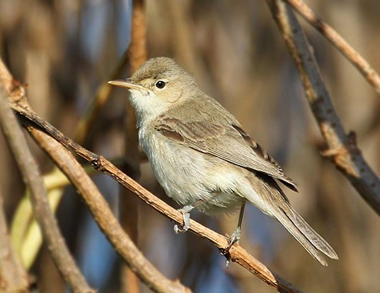 Picture of a eastern olivaceous warbler (Iduna pallida)