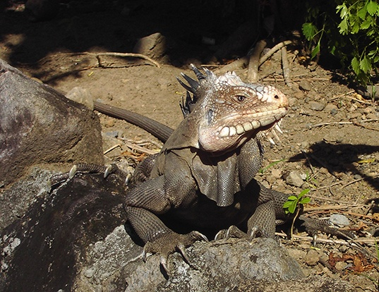 Picture of a west indian iguana (Iguana delicatissima)