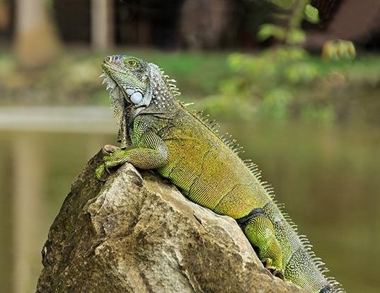 Picture of a green iguana (Iguana iguana)
