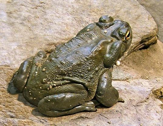 Picture of a colorado river toad (Incilius alvarius)