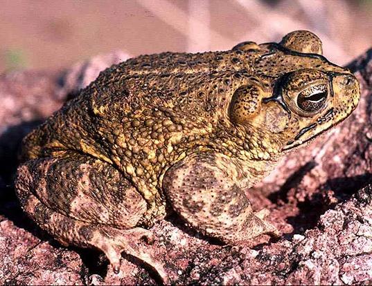 Picture of a sinaloa toad (Incilius mazatlanensis)