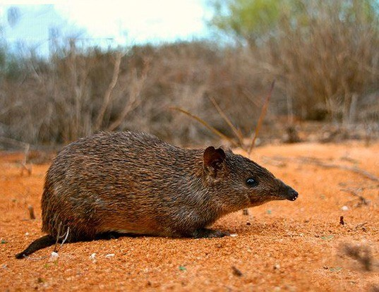 Picture of a golden bandicoot (Isoodon auratus)