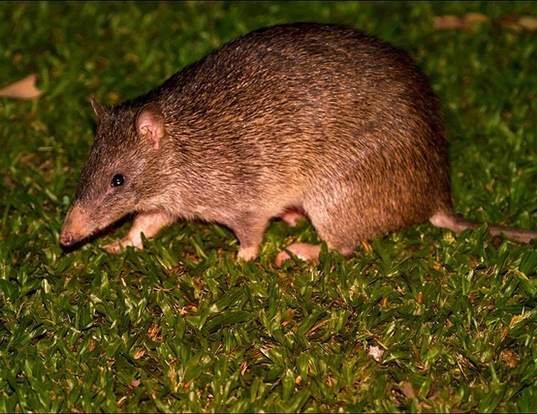 Picture of a northern brown bandicoot (Isoodon macrourus)