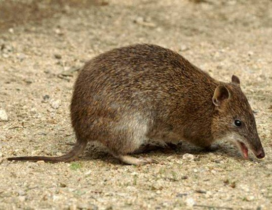 Picture of a southern brown bandicoot (Isoodon obesulus)