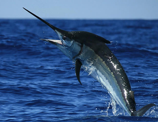 Picture of a black marlin