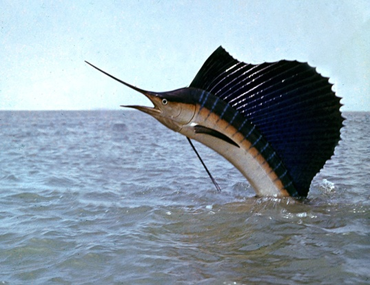 Picture of a indo-pacific sailfish (Istiophorus platypterus)