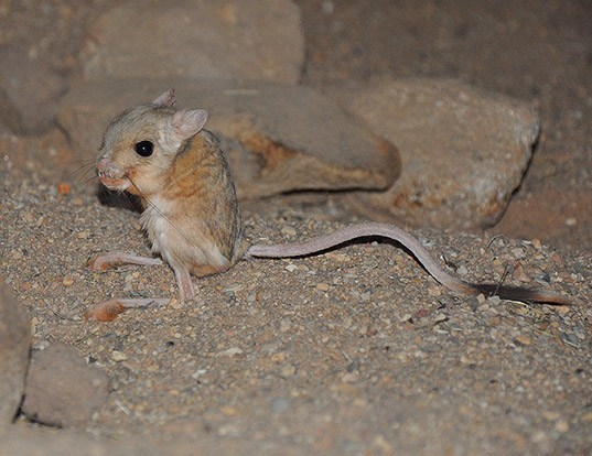 Picture of a lesser egyptian jerboa (Jaculus jaculus)