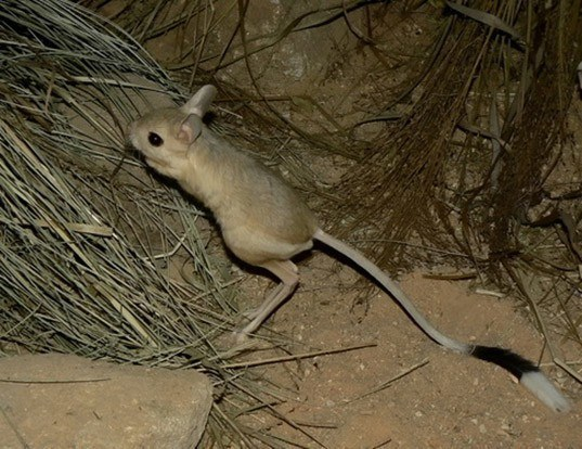 Picture of a greater egyptian jerboa (Jaculus orientalis)