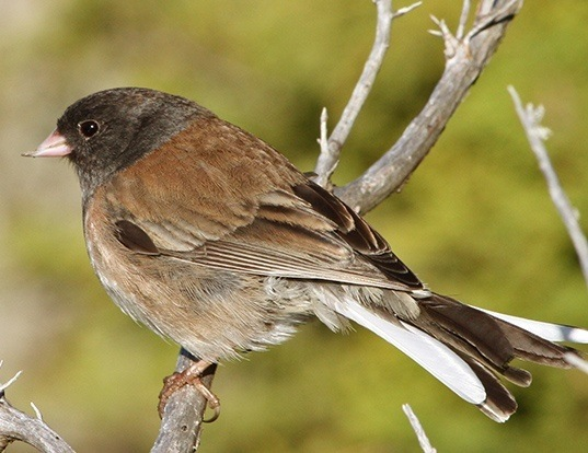 Picture of a dark-eyed junco (Junco hyemalis)