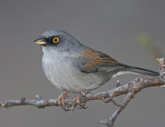 Picture of a yellow-eyed (mexican) junco (Junco phaeonotus)