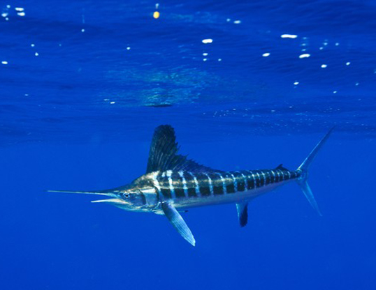 WHITE MARLIN LIFE EXPECTANCY