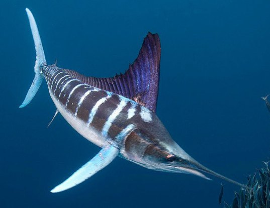 Picture of a striped marlin (Kajikia audax)