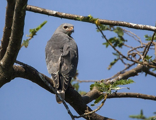 Picture of a lizard buzzard (Kaupifalco monogrammicus)