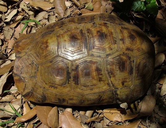 Picture of a bell's hingeback tortoise (Kinixys belliana)