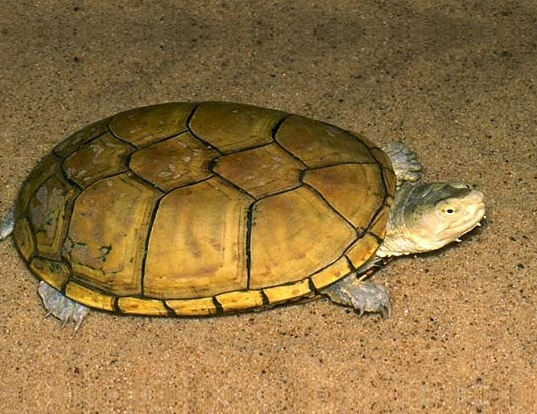 Picture of a yellow mud turtle (Kinosternon flavescens)