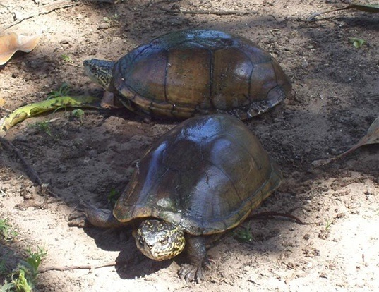 Picture of a mexican mud turtle (Kinosternon integrum)