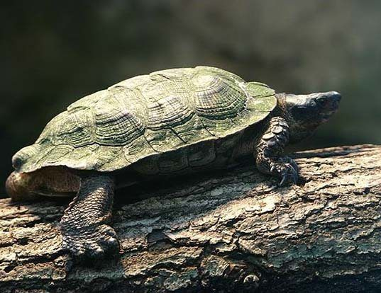 Picture of a tabasco mud turtle (Kinosternon scorpioides)