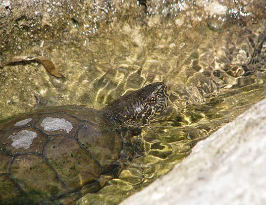 Picture of a sonoran mud turtle (Kinosternon sonoriense)