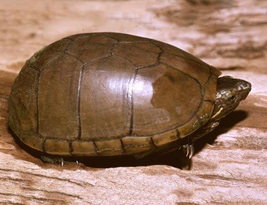 Picture of a mud turtle (Kinosternon subrubrum hippocrepis)