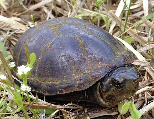 Picture of a eastern mud turtle (Kinosternon subrubrum)