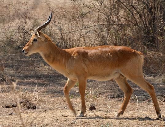 Picture of a puku (Kobus vardonii)