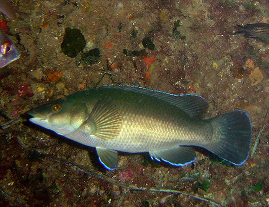 Picture of a brown wrasse (Labrus merula)