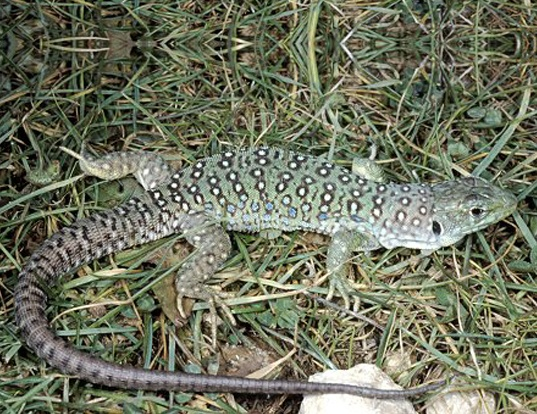 Picture of a european eyed lizard (Lacerta ocellata)