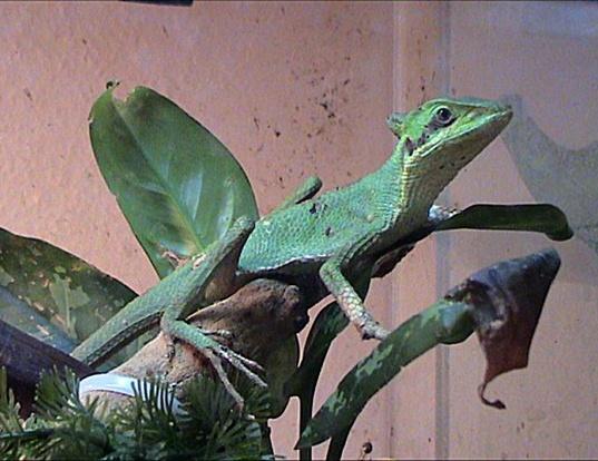Picture of a eastern casquehead iguana (Laemanctus longipes)
