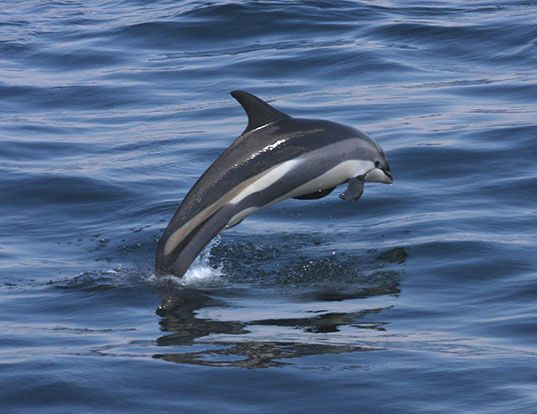 Picture of a atlantic white-sided dolphin (Lagenorhynchus acutus)