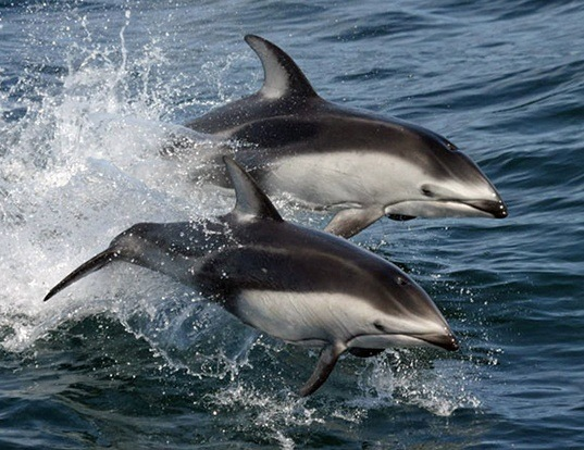 Picture of a pacific white-sided dolphin (Lagenorhynchus obliquidens)
