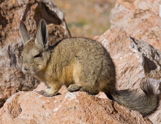 Picture of a northern mountain viscacha (Lagidium peruanum)