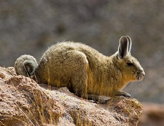 Picture of a southern mountain viscacha (Lagidium viscacia)