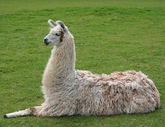 Picture of a llama (Lama glama)