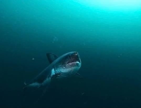 Picture of a salmon shark (Lamna ditropis)