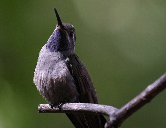 Picture of a blue-throated hummingbird (Lampornis clemenciae)