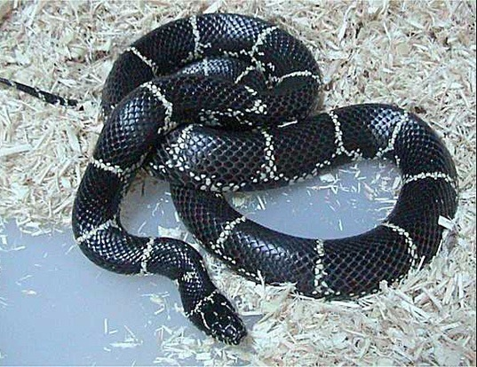 Picture of a kingsnake (Lampropeltis getula)