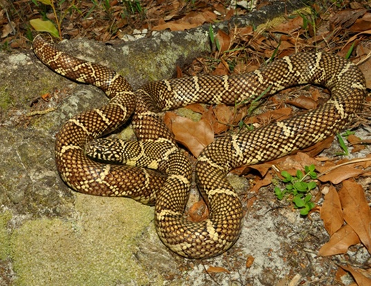 Picture of a florida kingsnake (Lampropeltis getulus floridana)