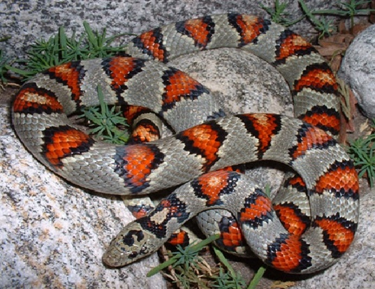 Picture of a mexican kingsnake (Lampropeltis mexicana)