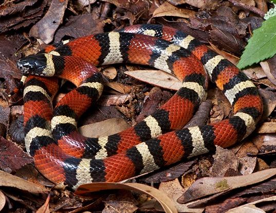 Picture of a louisiana milk snake (Lampropeltis triangulum amaura)