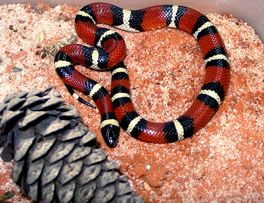 Picture of a mexican milk snake (Lampropeltis triangulum annulata)