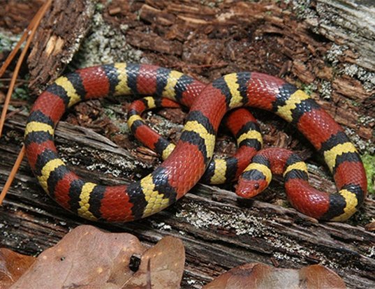 Picture of a scarlet kingsnake (Lampropeltis triangulum elapsoides)