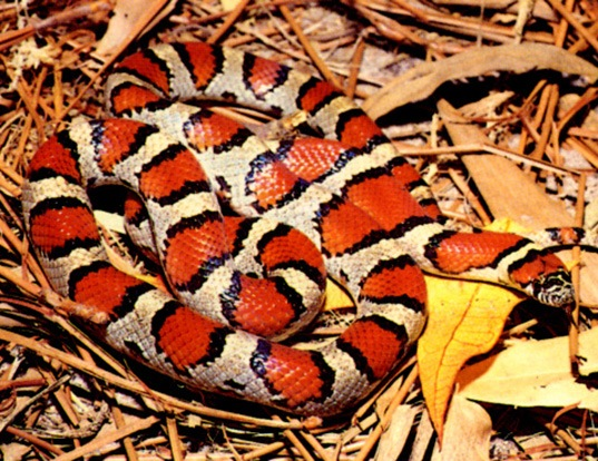 Picture of a red milk snake (Lampropeltis triangulum syspila)