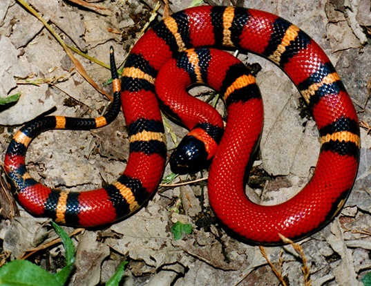 Picture of a milk snake (Lampropeltis triangulum triangulum)