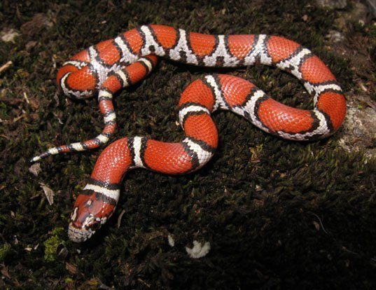 Picture of a eastern milksnake (Lampropeltis triangulum)