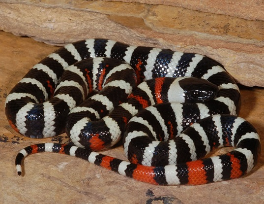 Picture of a san bernadino mountain kingsnake (Lampropeltis zonata parvirubra)