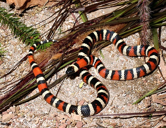 Picture of a california mountain kingsnake (Lampropeltis zonata)