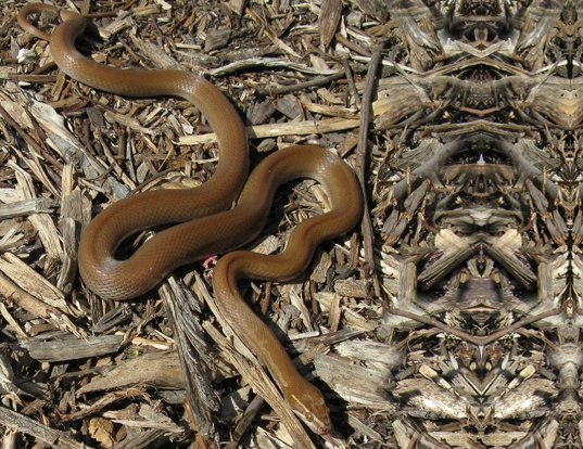 Picture of a african house snake (Lamprophis fuliginosus)