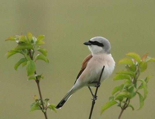 Picture of a red-backed shrike (Lanius collurio)