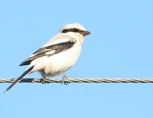 Picture of a northern shrike (Lanius excubitor)