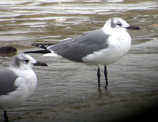 Picture of a laughing gull (Larus atricilla)